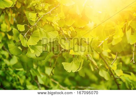 Green and yellow fall leaves of Ginkgo Biloba - healing plant, nature sunny background