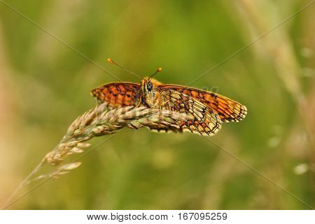 Butterfly Melitaea aurelia Nickerl's Fritillary perched on a grass spike