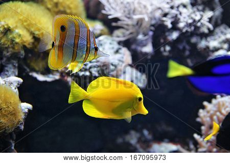 Copperband Butterflyfish (Chelmon rostratus) also commonly called the Beak Coralfish and Yellow tang (Zebrasoma flavescens). These are some of the most popular aquarium fish