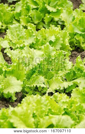 Close Up Of A Green Lettuce Plant