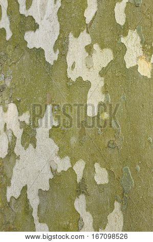 Natural decorative pattern - surface of Platanus bark