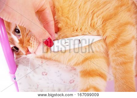 Red cat lying with a thermometer. The concept of veterinary and animal health. Studio shot.