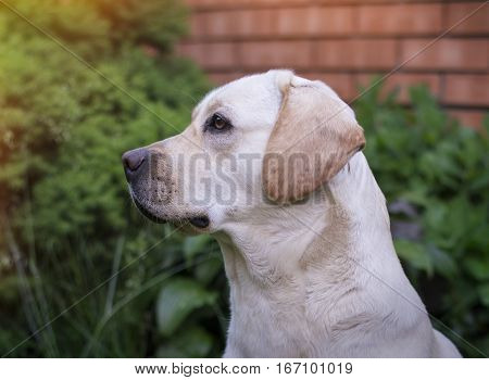 A young yellow labrador sitting on a lawn and looking away. Beautiful light golden labrador closeup sitting happily on the lawn. Being very friendly and excellent guide dogs.