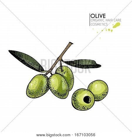 Vector set of hair care ingredients. Organic hand drawn colored elements. Olive branch and olives. for cosmetic package shop store products spa salon wellness program procedure skin beauty