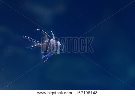 Banggai Cardinalfish or Pterapogon kauderni in a aquarium
