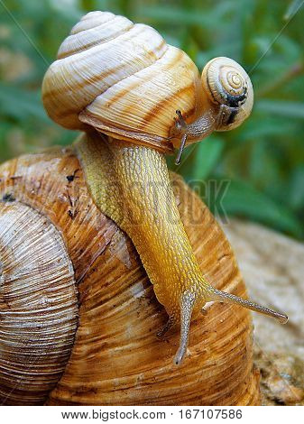 two snails on the one big snails