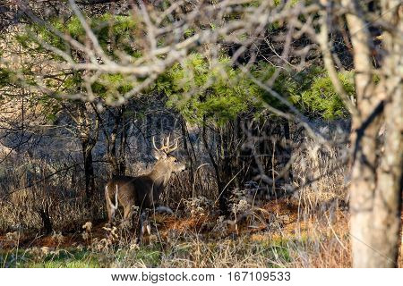 Horizontal image of a white-tail buck (Odocoileus virginianus) during the Wisconsin deer hunt.