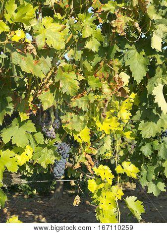 Vineyard In La Rioja Before The Harvest, Spain
