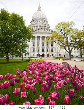 Tulips sit in front of the Wisconsin Capitol in Madison