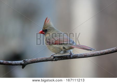 Cardinal (Cardinalis cardinalis) female perched on a branch in Wisconsin during the winter.