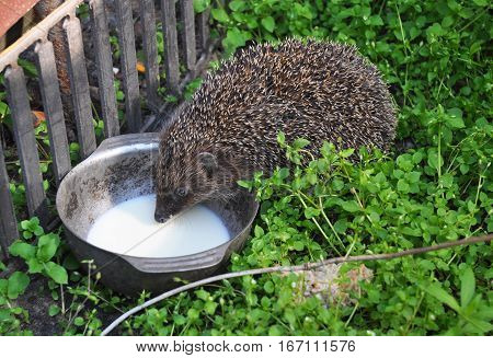 Hedgehog drinking milk in the garden. Attracting hedgehogs. Hedgehogs are lactose intolerant so please do not give them milk.