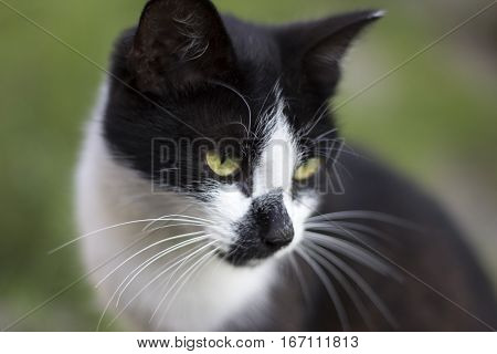 Black White Cat Face On Green Background. Clever Smart Black White Cat. Wise Cat Is Dreaming About M