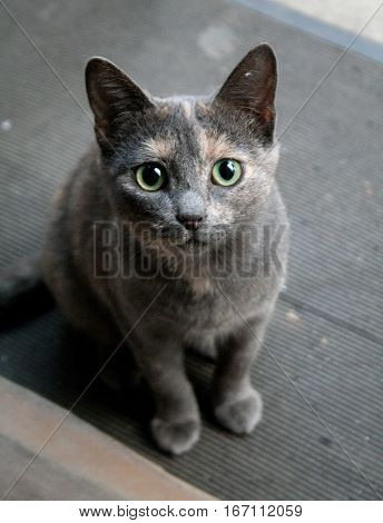 Surprised Cat With Goggle Big Eyes. Blue Colourful Cat Stares. Cute Kitten Looking.