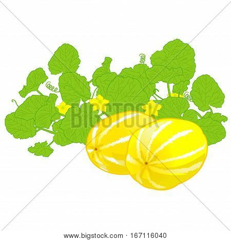 honeydew melon sweet melon healthy fruit, Yellow fruit