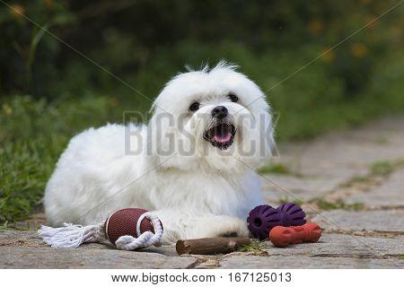 White Maltese dog with Toys on the garden