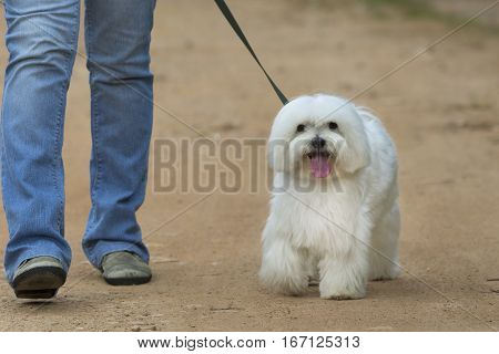 White Maltese dog walking with owner. Front view.