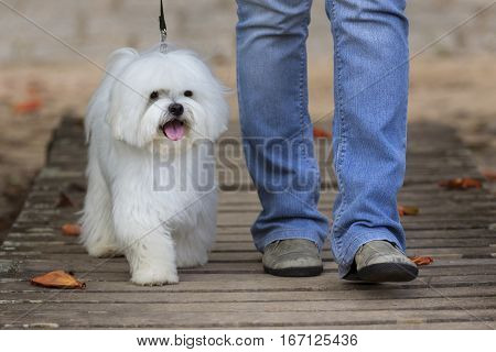 White Maltese dog walking over a bridge with owner