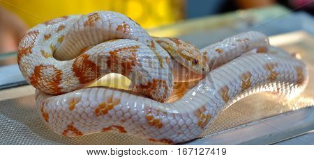 Cute corn snake female on a tree on dark background hypo fire morph