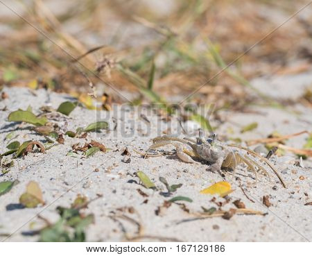 Small Crab Scurries Across Sand along Florida coast