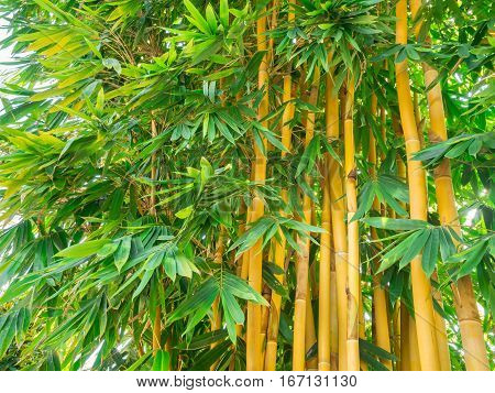 Cluster of bambusa vulgaris the asian bamboo species space for text