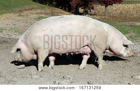 Two pig hogs on a pasture of a country farm