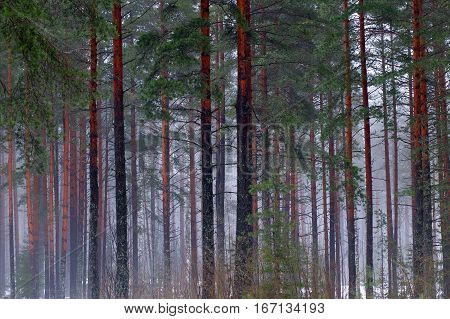 The trunks of the tall pines in the fog. Mystical and beautiful view of wildlife. Coniferous forest of tall trees. Blue nebula of cold winter woods.
