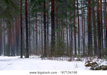 The trunks of the tall pines in fog. Mystical and beautiful view of wildlife. Coniferous forest of tall trees. Blue nebula of cold winter woods.