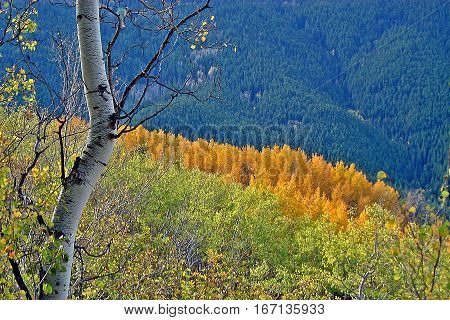 Hillside covered with Aspens in Colorado in the fall.