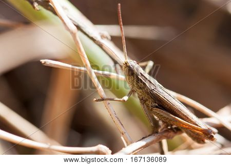 A brown grasshopper in the morning sunbathing