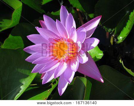 Purple Water Lily flowers in Tahitian islands