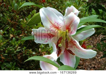 Star Gazer flowers. White with red markings.