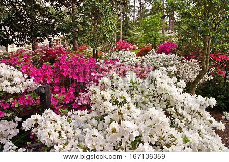Springtime in North Carolina 2. Azaleas and Rhododendrons everywhere.