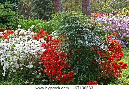 Springtime in North Carolina 1. Azaleas and Rhododendrons everywhere.