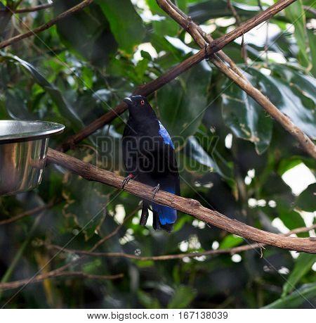 Black and Blue bird a male Asian Fairy Bluebird (Irena puella).