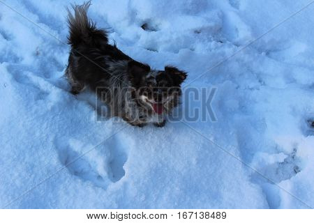 Chihuahua dog with rare color Choko Merle, happy and full of energy are standing with partial wet fur in the deep snow and makes a break of joy and play, on an early winter evening in January 2017 on a forest meadow in Kirchsahr,