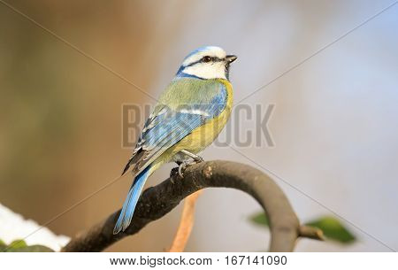 Eurasian blue tit (Cyanistes caeruleus) small passerine bird in the tit family Paridae