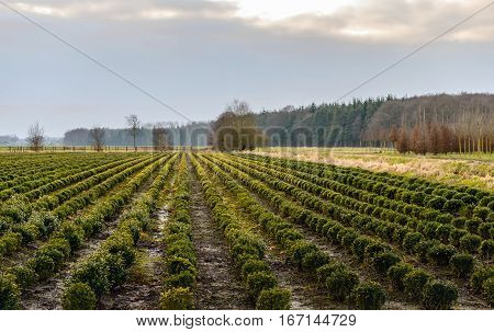 Large field with spherical boxwood plants at a specialized nursery in the Netherlands. It is at the end of nice day in the Dutch winter season.