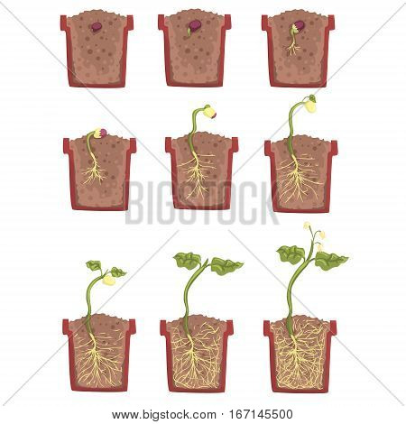 Plant Seed Growth, Development And Rooting Inside The Flower Pot, Classic Botany Textbook Educational Infographic Illustration. Cartoon Style Of Process Of The Sprout Going Out Of The Ground