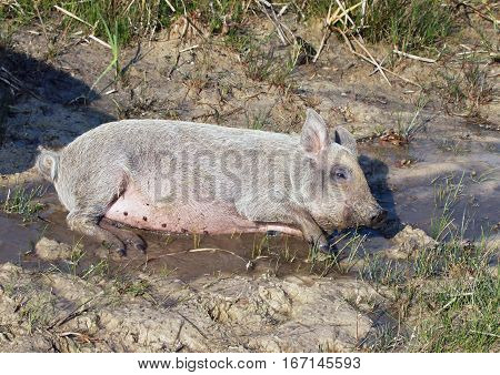 Curly piglet of Hungarian breed Mangalitsa lies in a pool