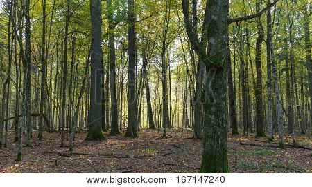 Autumnal deciduous stand in morning with old hornbeam tree trunk in foreground, Bialowieza Forest, Poland, Europe