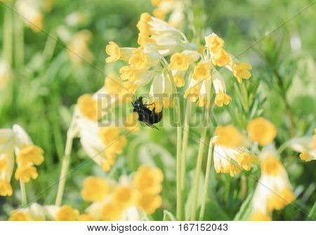 bumblebee collects nectar from bright yellow flowers of the primrose in the meadow