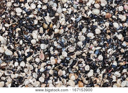 Large number of shells molluscs lies on the coast. Seashells natural background
