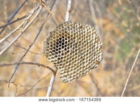 Empty the dried  hornet's nest (Honeycomb)