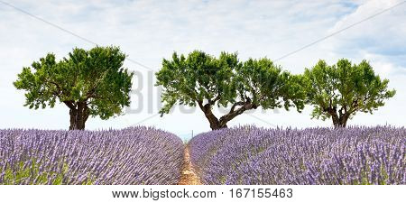 In Valensole three trees a lavender field and a sky full of clouds