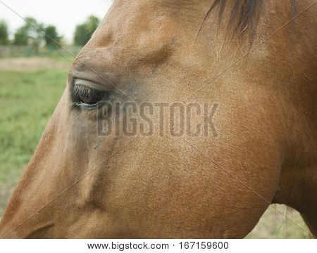 Horse's head. Part of the head of a brown horse.