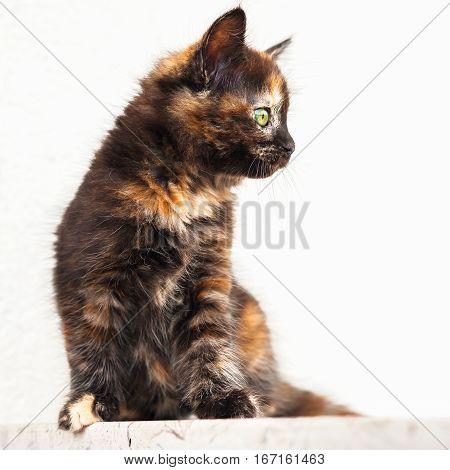 European young cat. Tortoiseshell or calico cat
