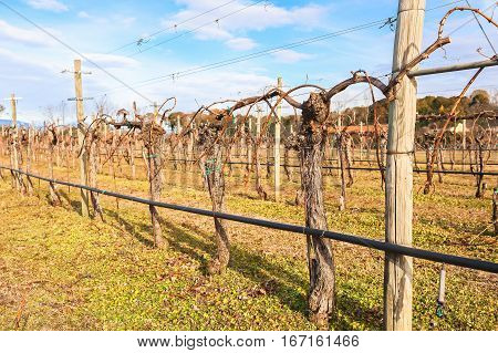 Pruned vines in the vineyard in winter sunny day. Vineyard with pipes and sprinklers for watering.