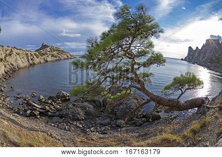 Relict pine tree on the sea shore. Fish Eye lens view. Crimea September.