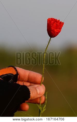 Gloved hand holding a poppy flower unblown. Early morning in the steppe.