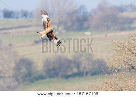 Red kite (Milvus milvus) banking in flight with underside visible. Medium-large bird of prey in family Accipitridae flying in Wales UK in front of countryside